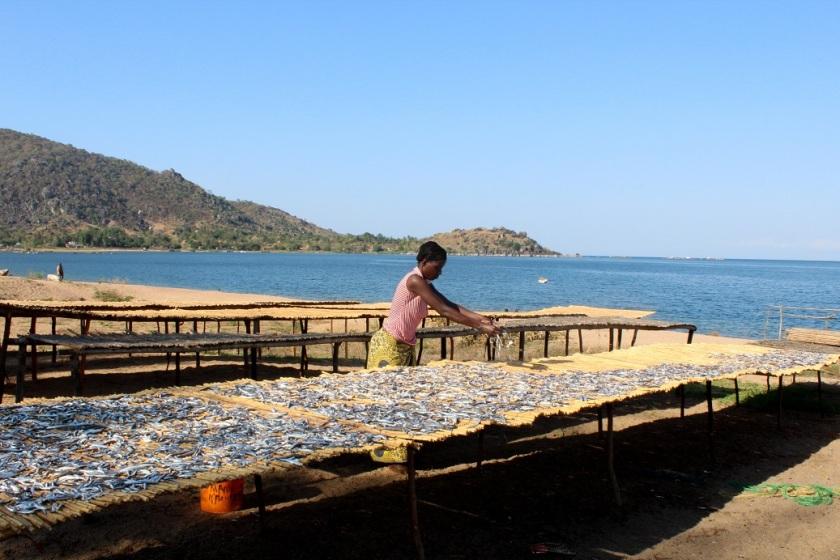 Fisken tørkes for så å selges videre, den er samtidig en viktig proteinkilde for lokalbefolkningen.