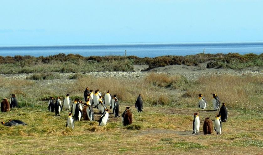 De lubne, brune pingvinene er kyllinger. Foto: Jahn Petter Johnsen, oktober 2016
